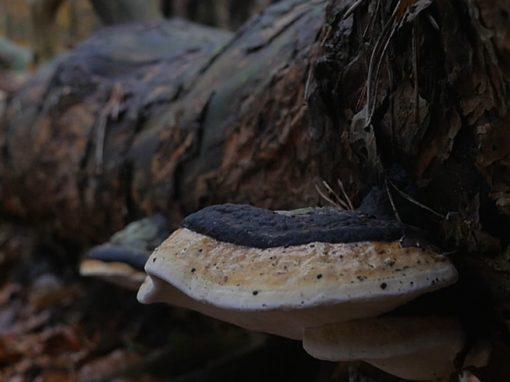SPANDAUER FORST | autumn mushroom forage