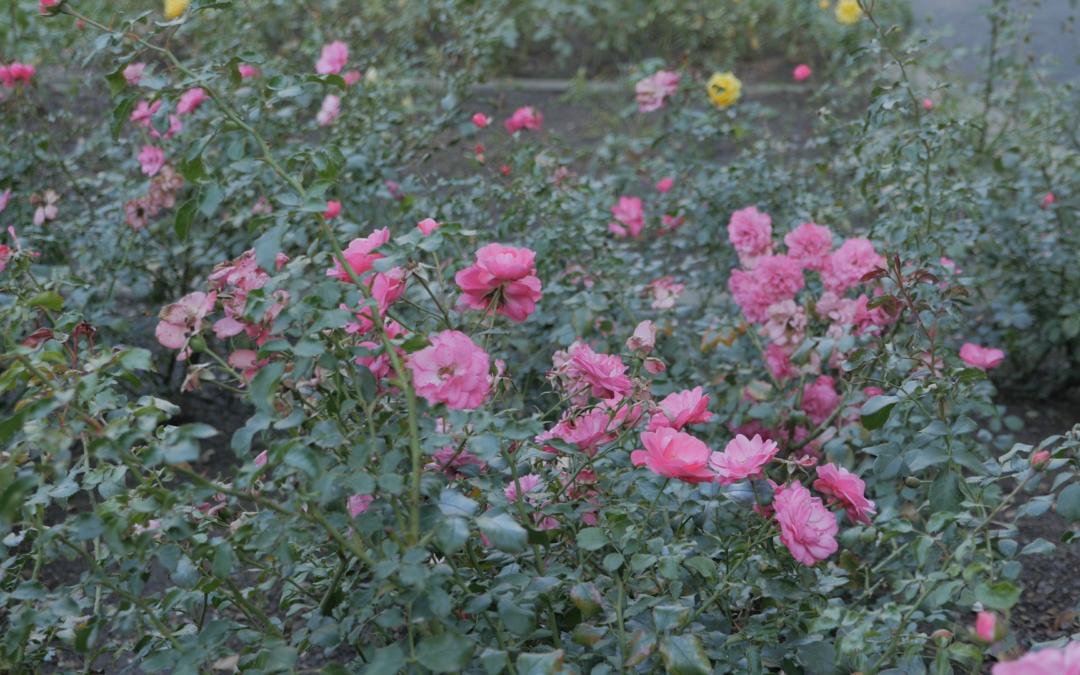 SCHLOSSPARK BRITZ | roses & ponies